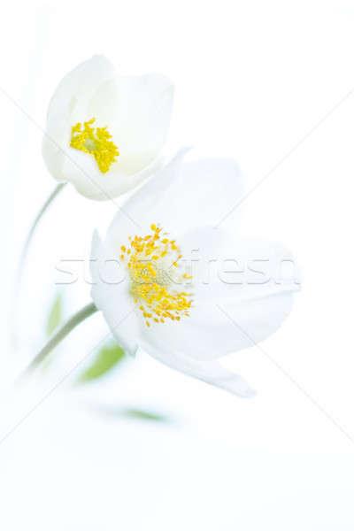 Twee witte bloemen geïsoleerd voorjaar selectief ondiep Stockfoto © artfotodima