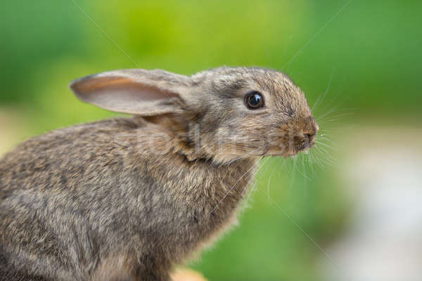 Rabbit. Beautiful animal of wild nature Stock photo © artfotodima