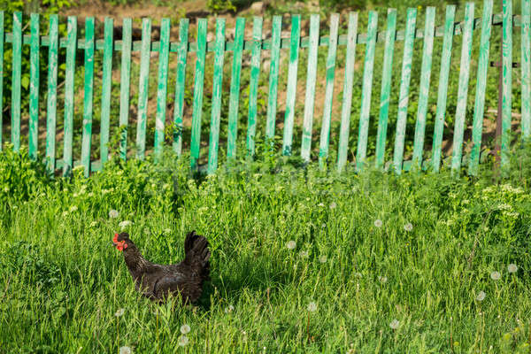 Chicken on traditional free range poultry farm Stock photo © artfotodima