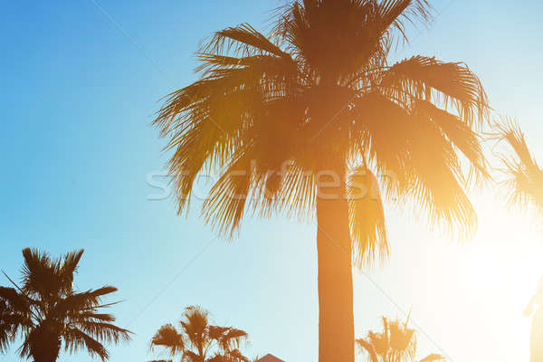 Tropicales coucher du soleil Palm ciel clair arbre Photo stock © artfotodima