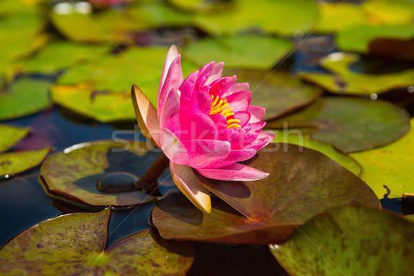 Beautiful pink water lily Stock photo © artfotoss