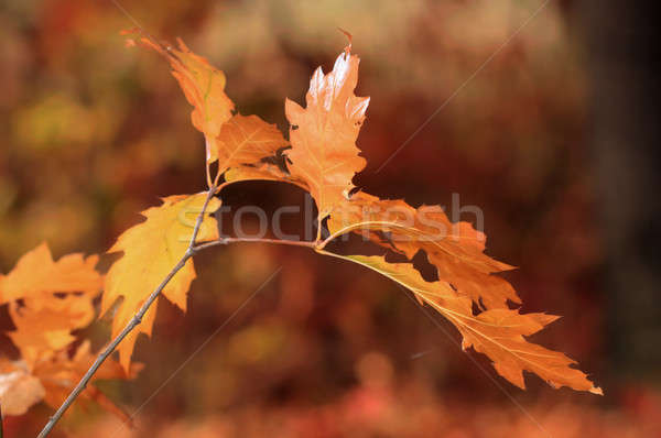 Oak tree in autumn Stock photo © artfotoss