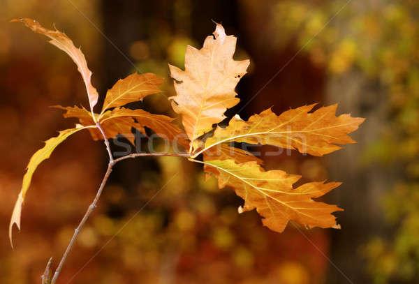 Dąb jesienią kolory tekstury drzewo Zdjęcia stock © artfotoss