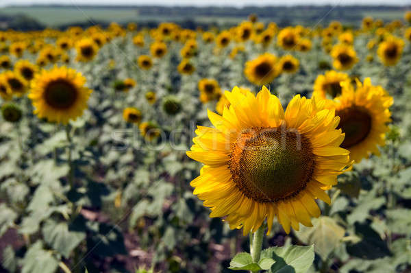 Campo girassóis blue sky céu planta amarelo Foto stock © artfotoss