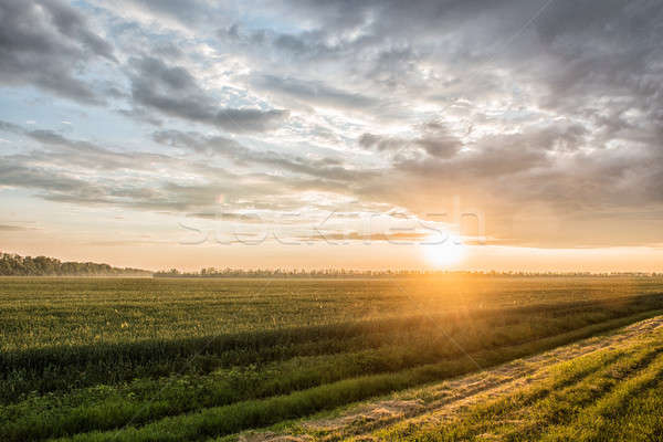 Stock photo: green field of wheat at sunset