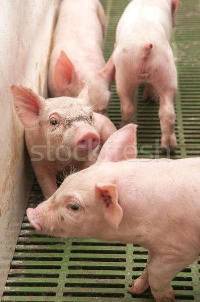 Baba disznó disznóól kicsi vicces rózsaszín Stock fotó © artfotoss