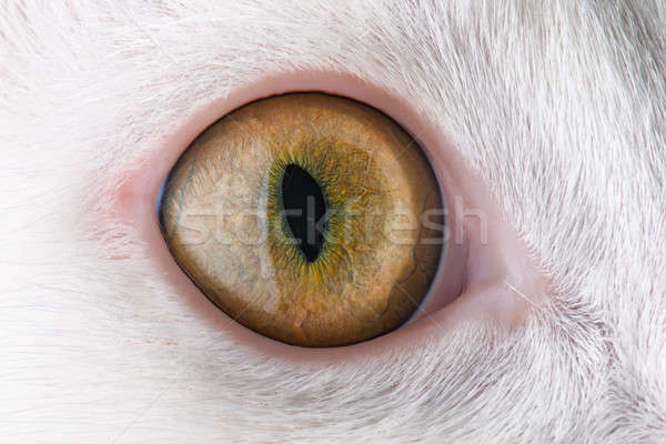 feline eye Stock photo © artfotoss