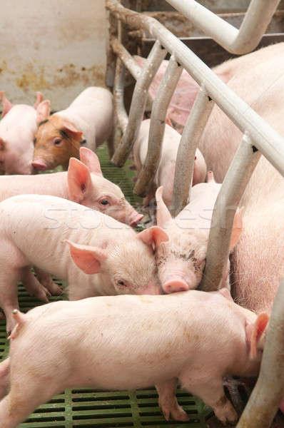 Bebê porco chiqueiro pequeno engraçado rosa Foto stock © artfotoss
