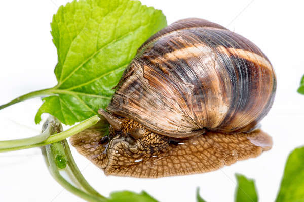 Stock photo: Snail on a white background