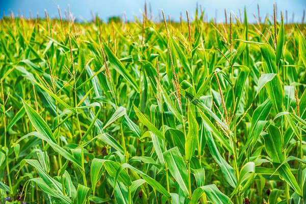 green corn field at agriculture farm Stock photo © artfotoss
