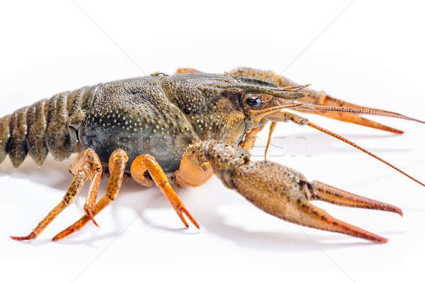 Crayfish isolated on the white background Stock photo © artfotoss