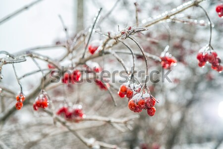 Red rowan tree in winter forest Stock photo © artfotoss