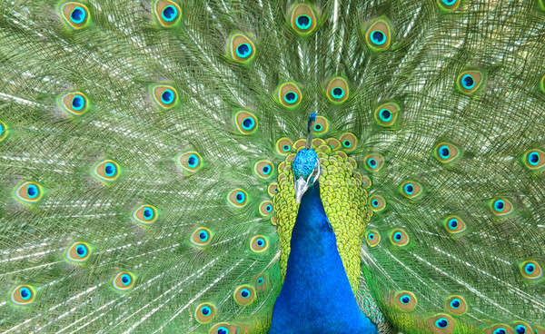 красивой павлин хвост Сток-фото © Artida