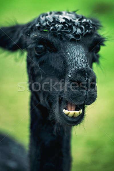 Alpaca by itself in a field  Stock photo © artistrobd