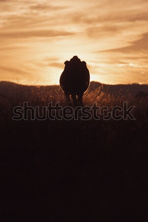 Sunset silhouette of a cow Stock photo © artistrobd