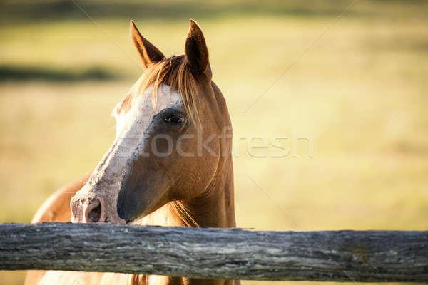 лошади Брисбен глаза трава красоту лет Сток-фото © artistrobd