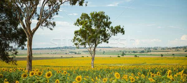 Ayçiçeği alan öğleden sonra queensland Avustralya gökyüzü Stok fotoğraf © artistrobd