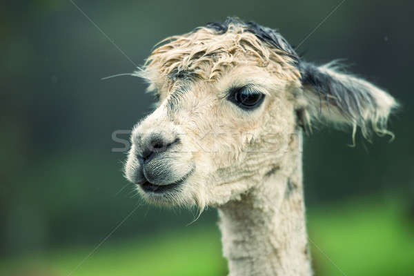 Alpaca by itself in a field  Stock photo © artistrobd