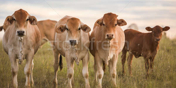 Outback Cows  Stock photo © artistrobd