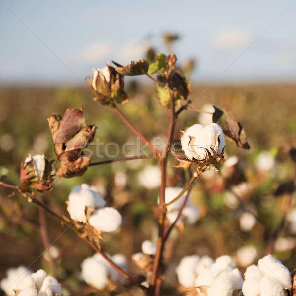 綿 フィールド クイーンズランド州 フィールド 準備 収穫 ストックフォト © artistrobd