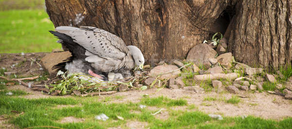 Cape Barren Goose with her nest Stock photo © artistrobd