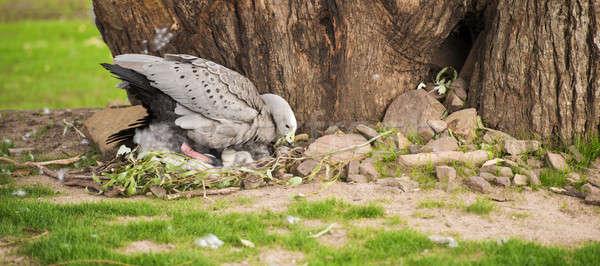 Terméketlen liba fészek tojások természet Stock fotó © artistrobd