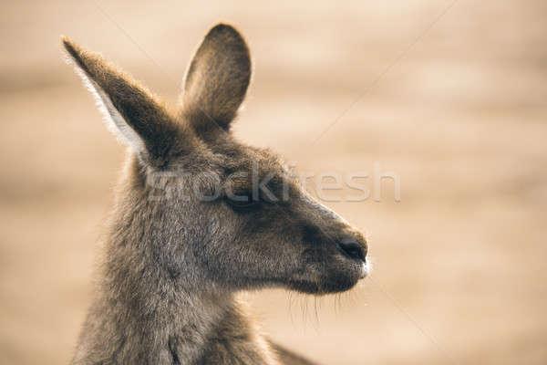 Kangaroo outside Stock photo © artistrobd