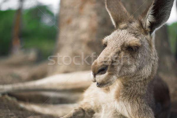 Kangaroo outside during the day. Stock photo © artistrobd