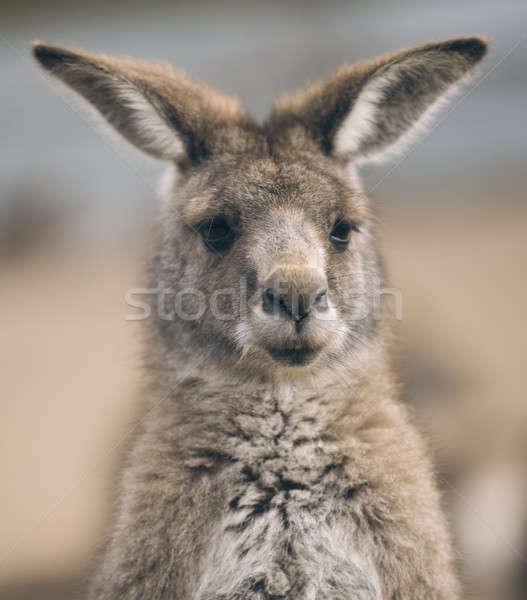 Cangur exterior australian în aer liber natură fundal Imagine de stoc © artistrobd
