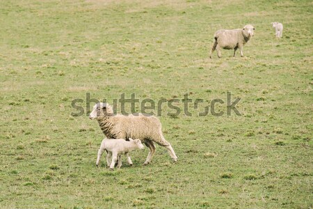 Sheep on the farm Stock photo © artistrobd