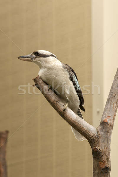 Kookaburra gracefully sitting in a tree Stock photo © artistrobd