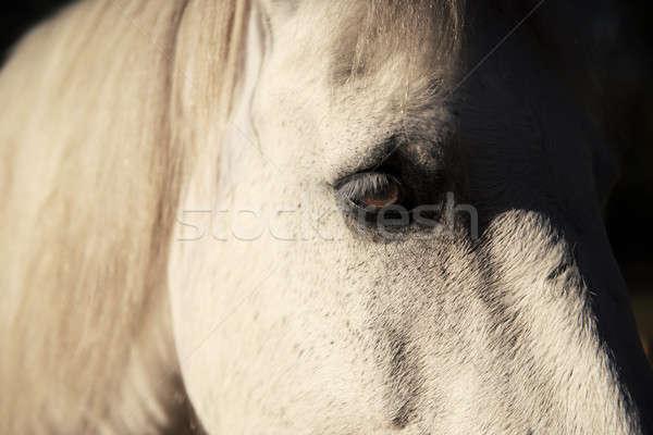 Horse in the paddock Stock photo © artistrobd
