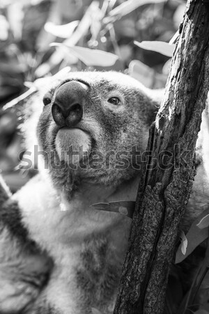 Koala in a eucalyptus tree. Black and White Stock photo © artistrobd