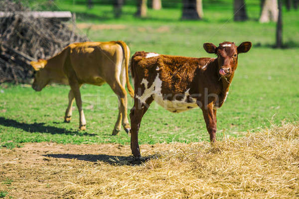 Country Calfs Stock photo © artistrobd