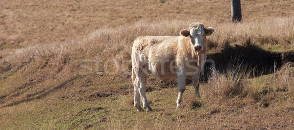 Cow in the country Stock photo © artistrobd