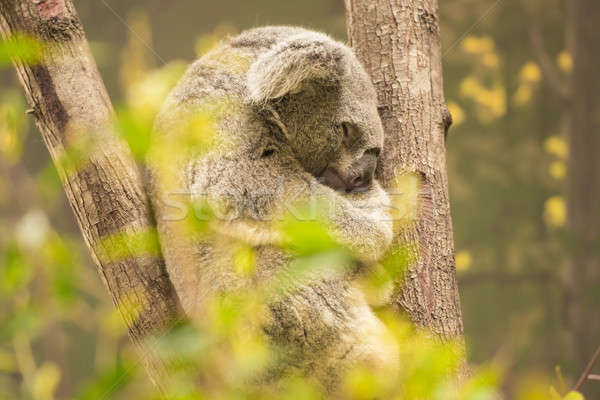 Koala by itself in a tree Stock photo © artistrobd