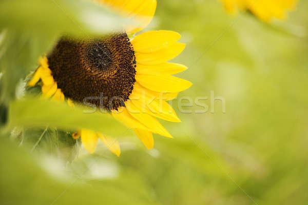 Ayçiçeği alan öğleden sonra queensland Avustralya yaz Stok fotoğraf © artistrobd