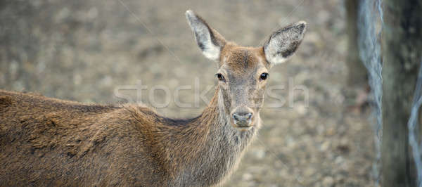 Deer outside during the day Stock photo © artistrobd