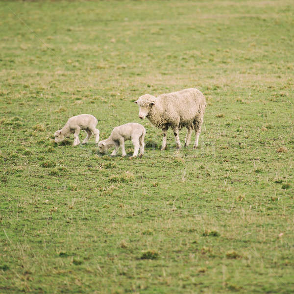 Koyun çiftlik gün tazmanya Stok fotoğraf © artistrobd