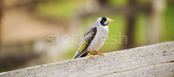 Noisy miner bird by itself Stock photo © artistrobd