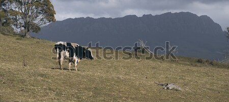 Holstein Fresian cow Stock photo © artistrobd