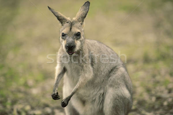 Wallaby outside by itself Stock photo © artistrobd