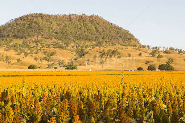 View of Mount Walker and Sorghum Stock photo © artistrobd