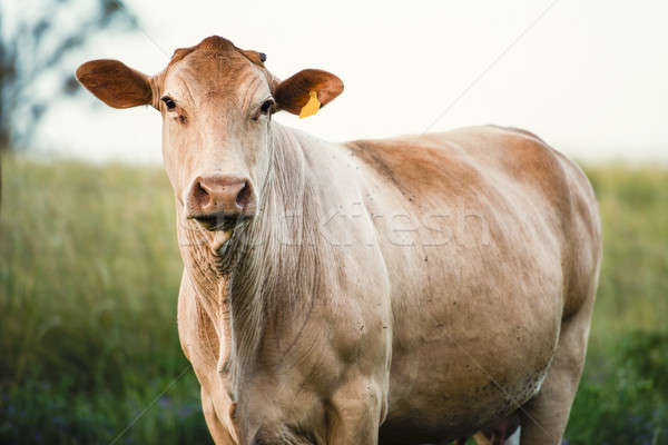 Outback Cow Stock photo © artistrobd