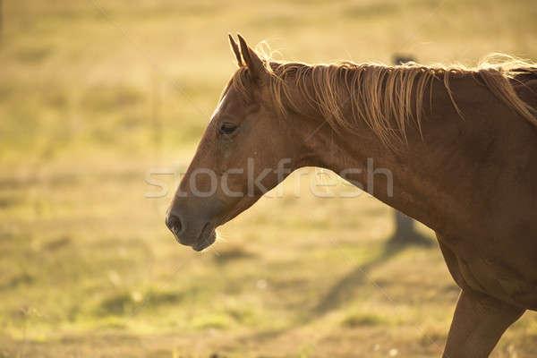 Single horse Stock photo © artistrobd