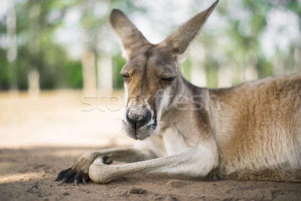 Kenguru kívül nap ausztrál kint természet Stock fotó © artistrobd