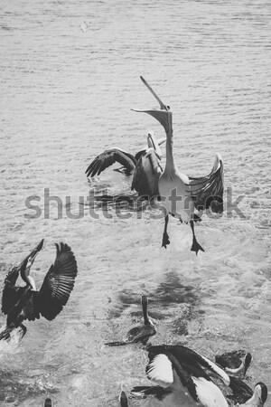 Pelicans feeding in the water Stock photo © artistrobd
