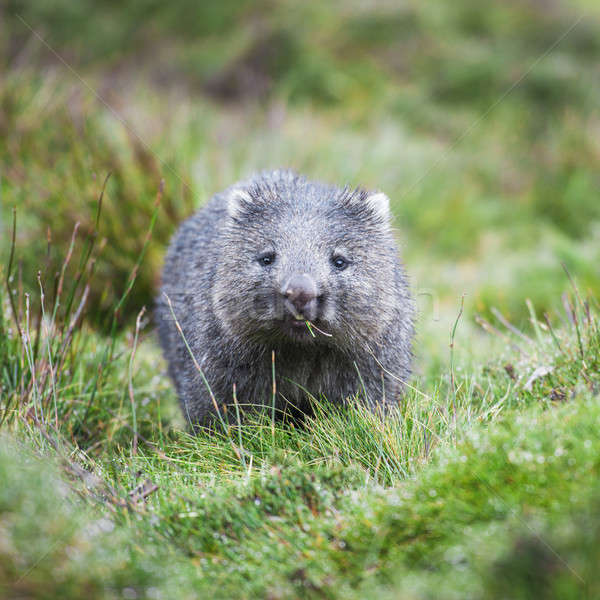 Wombat during the day Stock photo © artistrobd
