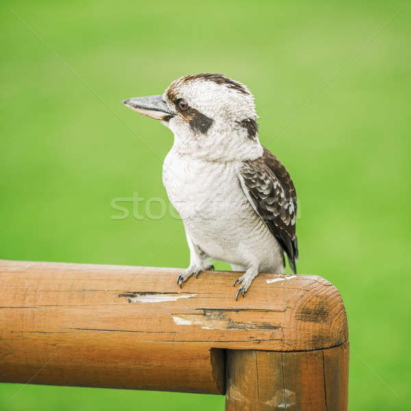Kookaburra gracefully resting during the day. Stock photo © artistrobd