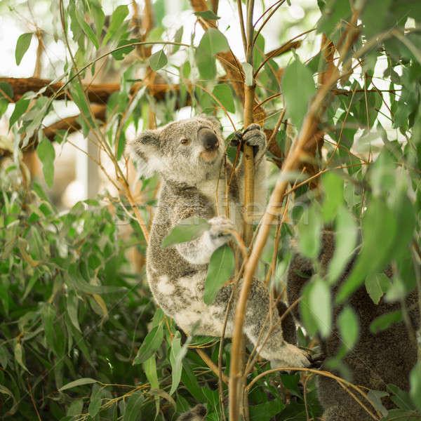 Stock photo: Koala in a eucalyptus tree.
